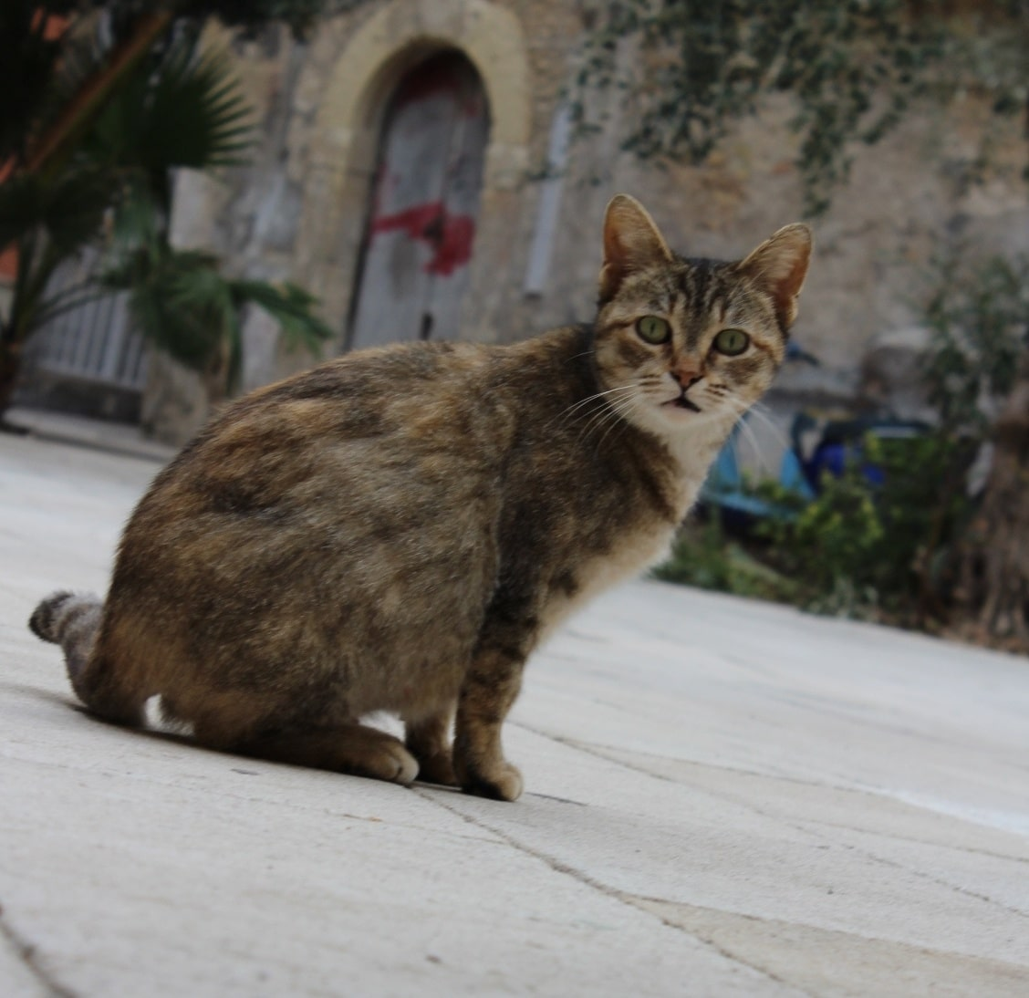 pregnant feral cat in Ortigia