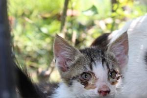 Gattino con gli occhi infiammati