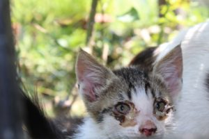 Kitten with inflamed eyes